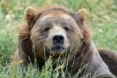 Old brown kodiak bear — Stock Photo