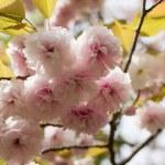 Close-up of sakura flower petals. — Stock Photo #51950187