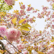 Close-up of sakura flower petals. — Stock Photo #51950199