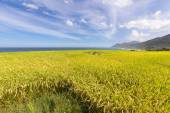 Paddy terrace farm near the sea — Stock Photo