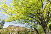 Emerald green cherry trees — Stock Photo