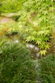 Green maple — Stock Photo