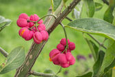 Bright fruit euonymus in September — Stock Photo