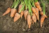 Dug carrots lying on the arable land — Stock Photo