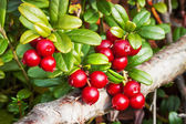 Berries lingonberry (Vaccinium vitis-idaea), end of August — Stock Photo