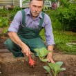 Gardener produces care for cabbage seedlings — Stock Photo #73407681