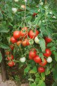 Plentiful fructification of tomatoes, august — Stock Photo