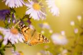 Butterfly Vanessa cardui — Stock Photo
