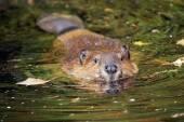 Swimming beaver — Stock Photo
