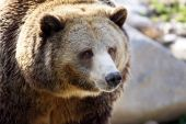 Big grizzly portrait — Photo