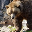Big grizzly bear walking — Stock Photo #54418689