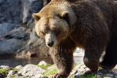 Big grizzly bear walking — Stockfoto