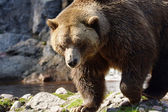 Big grizzly bear walking — Photo
