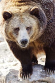 Grizzly portrait vertical — Stockfoto