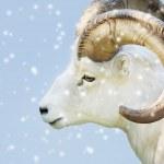 Male dall sheep — Stock Photo #54754003
