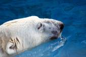 Head of swimming polar bear — Foto de Stock