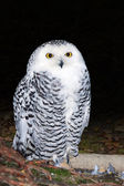 Female snowy owl — Stock Photo
