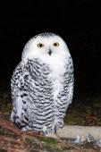 Female snowy owl — Stock Photo