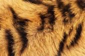 Tiger fur background — Stock Photo