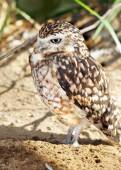 Burrowing owl vertical — Stock Photo