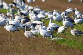 Group of Snow geese in field — Stock Photo
