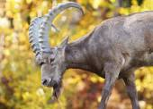 Male Siberian ibex during fall — Stock Photo