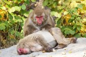 Japanese macaques grooming — Stock Photo