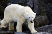 Wet polar bear full body — Stock Photo