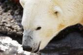 Polar bear watching — Stock Photo