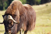 Male musk ox looking — Stock Photo