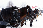 Horses in driving competition — Stock Photo