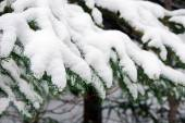 Spruce branches covered with snow — Stock Photo