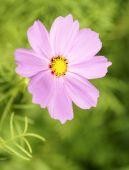 Cute pink flower — Stock Photo
