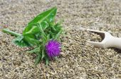 Herb milk thistle silybum marianum  — Stock Photo
