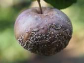Rotten fruit apple — Stock Photo