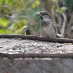 Sparrows — Stock Photo #56810891