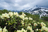 Rhododendrons in the mountains — Stock Photo