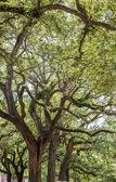 Old Oak Trees in Park — Stock Photo