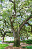 Old Oaks with Twisted Limbs — Stock Photo