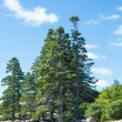 Green Spruce Trees on Rocky Slope — Stock Photo #62340839