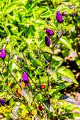 Purple Pepper Pods in Garden — Foto de Stock
