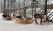 Reindeers in harness — Foto de Stock