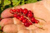 Red currants held — Stock Photo