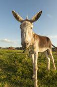 Grey donkey — Stock Photo
