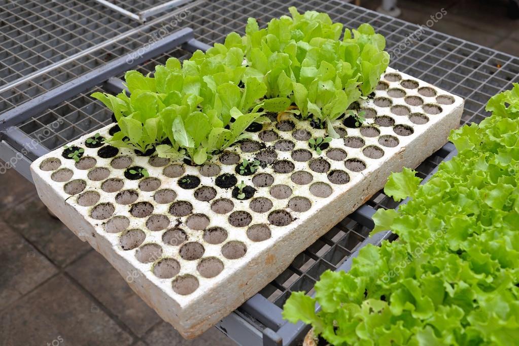Выращивание салата сорта рассада посадка и уход