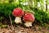 Pair of fly agarics in a forest — Stock Photo