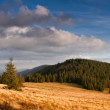 Firs on a Carpathian mountain meadow — Stock Photo #62518907