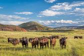 Open range cattle in Colorado — Stock Photo