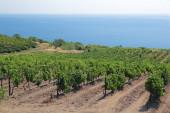 Green Vineyard — 图库照片