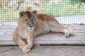 Lioness in cage — Stock Photo